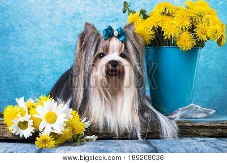 beaver terrier and lDandelions flowers