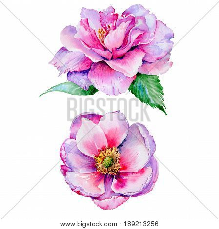 Wildflower tea rose flower in a watercolor style isolated. Full name of the plant: tea rose, hulthemia, rosa. Aquarelle wild flower for background, texture, wrapper pattern, frame or border.