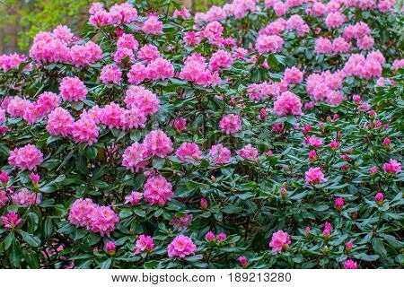 Blooming rhododendron bushes. Latvian University Rhododendron nursery