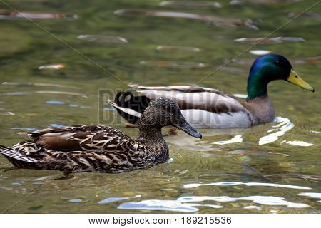 Pair of mallards (Anas platyrhynchos) swimming together on lake