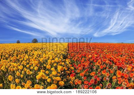 Concept of rural tourism. The magnificent blossoming fields of garden buttercups. Light cirrus clouds over the floral splendor