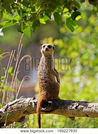 One cute meerkat looking behind him whilst sitting upright on a branch with space for text.