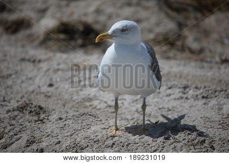 Western gull (Larus occidentalis) on sand in Miami beach Florida