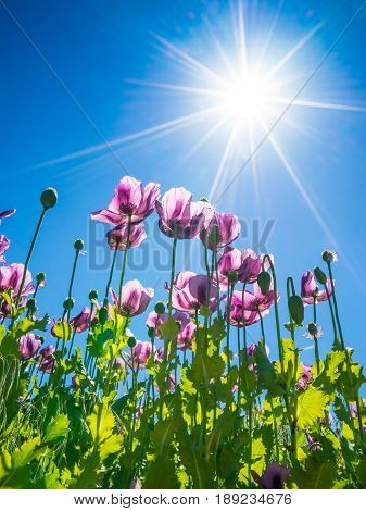 Poppy heads in sunshine detail purple poppy flowers with clear blue sky background and sunshine