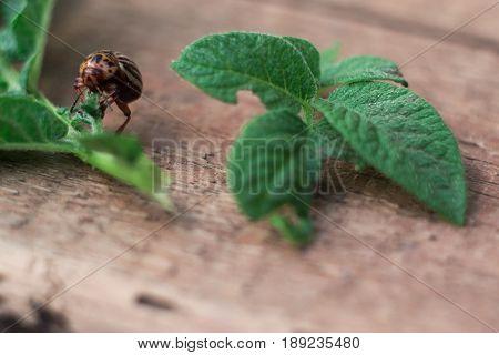 Colorado potato beetle on a potato leaf