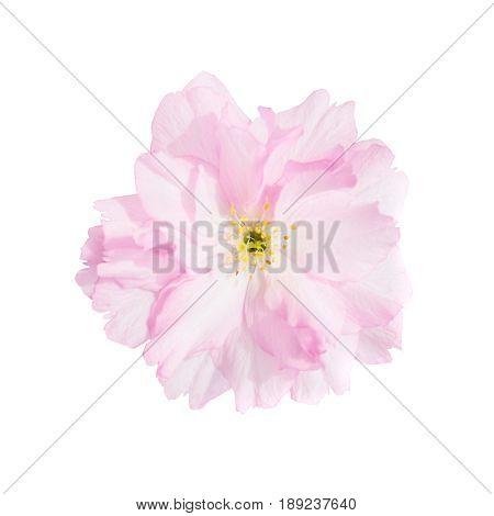 Pink sakura cherry flowers isolated on white background