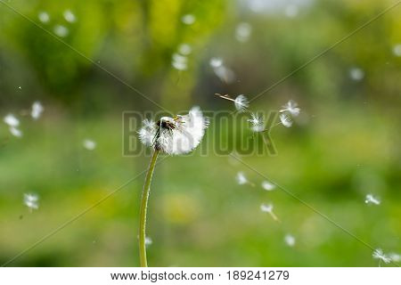 Dandelion On The Wind. Dandelion Fluff. Dandelion Tranquil Abstract Closeup Art Background.