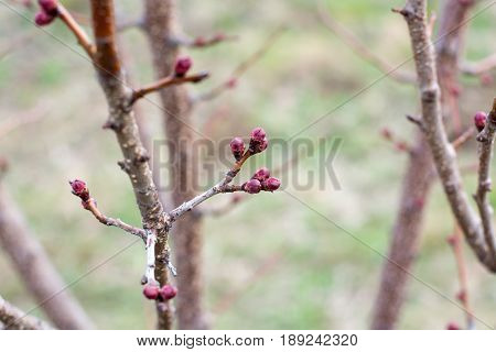 Apricot Flower Bud On A Tree Branch Branch With Tree Buds.
