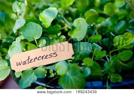 close up of watercress plant in pot with label