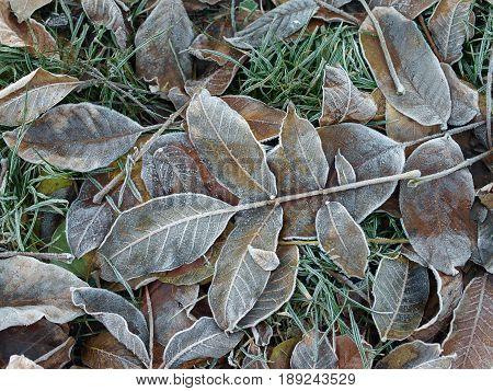 frozen leaves on the ground. frozen nettle leaves.