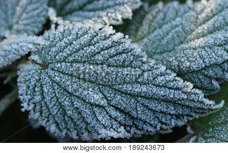 frozen nettle leaves. frozen leaves on the ground