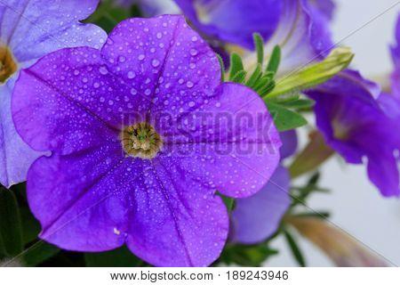 Closeup of beautiful purple Petunia.Beautiful Violet Petunia Flowers in Garden.