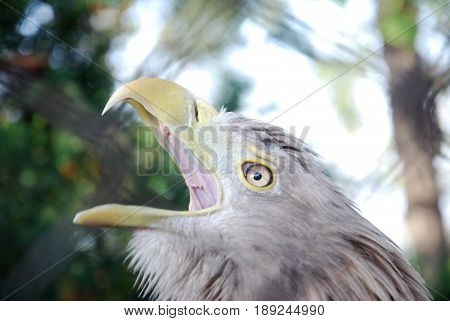 Portrait of a juvenile White-tailed eagle (Haliaeetus albicilla), the call of the eagle