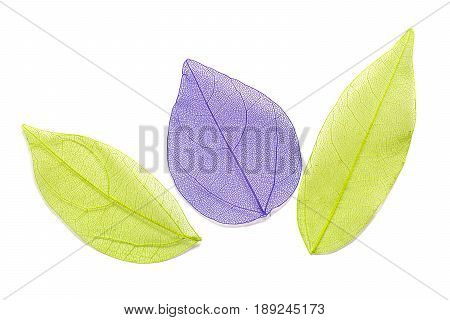 Skeleton leaf on a white background. The green and purple leaves.