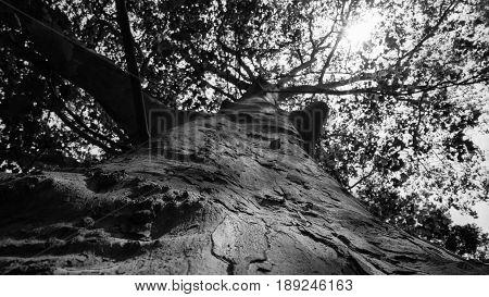 Platoon tree, black and white,  full-grown platan tree