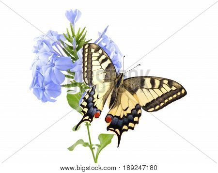Old World Swallowtail (Papilio machaon) butterfly perched on a flower Blue plumbago (Plumbago auriculata) all on a white background