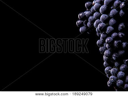 Berries Of Dark Bunch Of Grape  In Low Light Isolated On Black Background