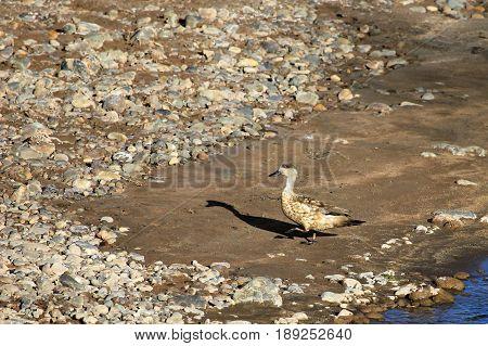 Crested Duck, Lophonetta specularoides, Neuquen Patagonia Argentina