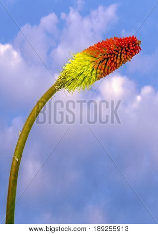 View of a Red Hot Poker on a blue sky background