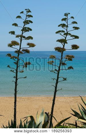Blossom of agave plant on tropical island with blue clear sea water and blue sky