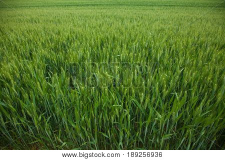 A Young Wheat Field Still Green In The French Countryside