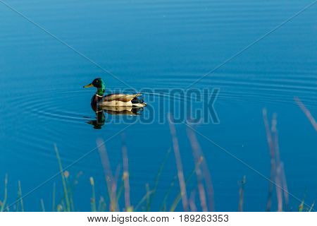 a male duck swimming in the pond very slowly