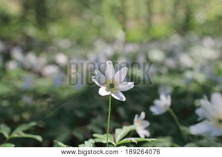 forest strewn is strewn with pure white flowers wood anemone macro shot