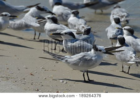 Terns standing in a group along a Naples Florida beach.
