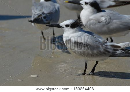 Sandwich terns standing together on a beach in Naples.