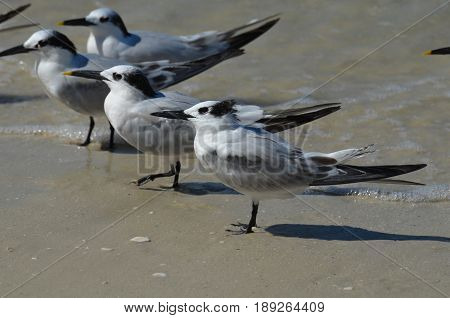 Tropical terns standing in the shallow water along the beach in Naples Florida.