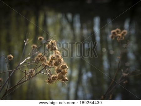 Dried inflorescences of burdock after winter on a sunny day.