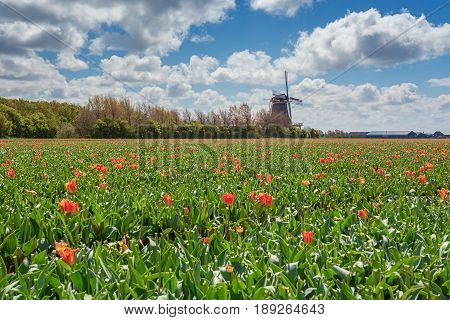 The beautiful and colorful Dutch tulips fields in spring with a typical Dutch mill in the background