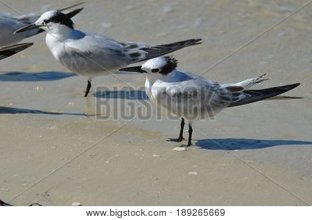 Sandwich tern bird standing in shallow water on the edge of the beach.