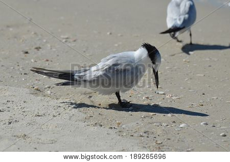 Shorebird standing on a white sand beach in Florida.
