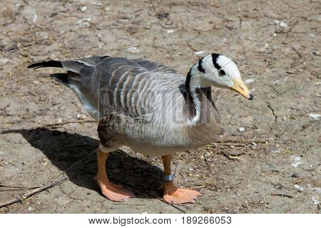 Wthite head wild goose with ring on his leg close up
