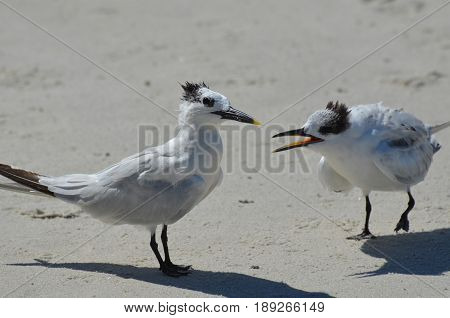 Two sandwich terns fighting along the beach in Florida.