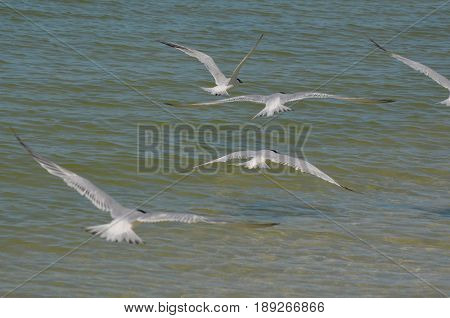 Large group of flying sandwich terns with wings extended over the ocean.