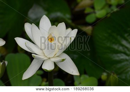 Blooming white lotus flower in wetlands and a pond.