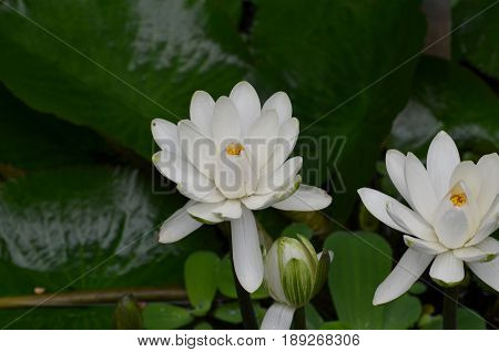 Blooming white lotus flowers in a water garden.