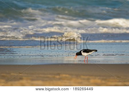 Pied Oystercatcher bird in black white with long red orange bills feeding fresh fish on sandy beach. Seashore coast in afternoon with foamy waves in Tasmania, Australia (Haematopus longirostris)
