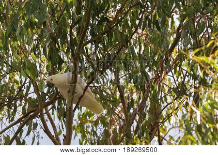 Sulphur crested cockatoo white bird with yellow crest, black bill perching on gum Eucalyptus tree in Tasmania, Australia (Cacatua galerita)