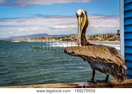 A pelican staring me down on a southern California pier he won.