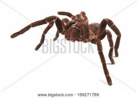 Tarantula spider (Hysterocrates Hercules) on a white background