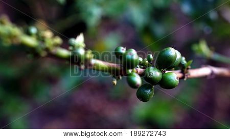 Arabica and Robusta coffee trees, coffee plantation.