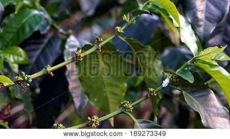 Arabica and Robusta coffee trees, coffee plantation.