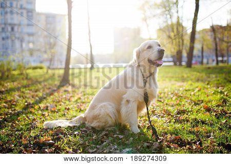Dog labrador in collar sitting on lawn in park