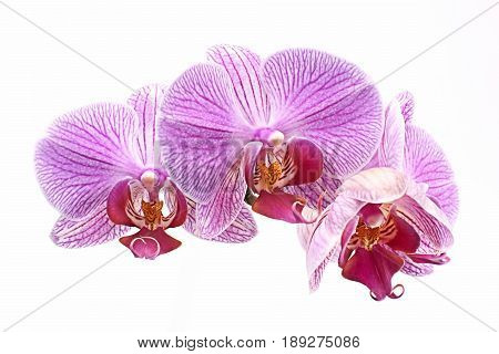 Orchids purple Phalaenopsis on a white background