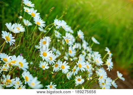 Close up of marguerites in a marguerite sea.Green grass and chamomiles in the nature.