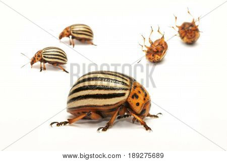 Colorado potato beetle (Leptinotarsa decemlineata) also known as the Colorado beetle the ten-striped spearman the ten-lined potato beetle or the potato bug