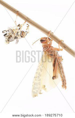 Locust Desert locust (Schistocerca gregaria) immediately after molt
